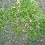 Magnificent Turf Weeds Tinamba Turf Creativecarmelina Interior Chair Design Creativecarmelinacom